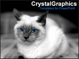 PowerPoint Template - White cat with piercing blue eyes.