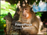 PowerPoint Template - monkey holding the tree at Phuket Thailand