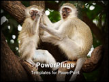 PowerPoint Template - Vervet (Green) monkeys (Cercopithecus aethiops) in the Kruger National Park.