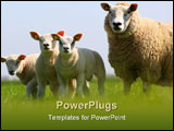 PowerPoint Template - mother sheep with three cute lambs in a field in spring