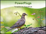 PowerPoint Template - Mourning dove perched on a tree branch