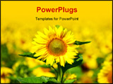 PowerPoint Template - Closeup of a bright yellow sunflower !