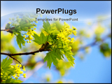PowerPoint Template - Young green leaves of a maple on a background of the blue sky