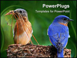 PowerPoint Template - Pair of Eastern Bluebird (Sialia sialis) on a log with nesting material