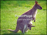 PowerPoint Template - Adult kangaroo female with baby in her pouch