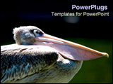 PowerPoint Template - Pelican sitting contented.