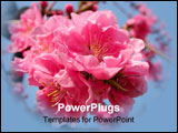 PowerPoint Template - Beautiful pink cherry flowers inflorescence