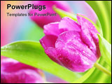 PowerPoint Template - Close up of spring tulip in spring garden