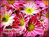 Vegetative background from flowers of a pink chrysanthemum