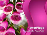 PowerPoint Template - Pink fox glove flower bells in a garden popular in English Spring