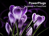 PowerPoint Template - bunch of flowers; white striped crocus on dark background