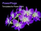 PowerPoint Template - an beautiful image of purple orchids
