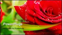 PowerPoint Template - Macro of rose petals with water droplets. Closeup with shallow dof.