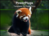 PowerPoint Template - Red panda bear (also called lesser panda) watching.