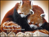 PowerPoint Template - Red pandas cuddling in tree in winter