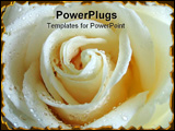 PowerPoint Template - White rose, macro *crisp image!