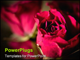 PowerPoint Template - Macro image of mini roses with shallow Depth of Field.