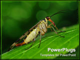 PowerPoint Template - Small scorpionfly sit on green big leaf