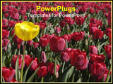 PowerPoint Template - single yellow tulip in sea of red
