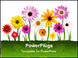 PowerPoint Template - Group of colorful summer daisies on stems isolated on white