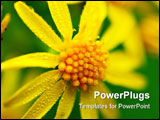 PowerPoint Template - Beautiful yellow flower with early morning dew on it