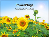 PowerPoint Template - Bright yellow sunflower close up on a background field