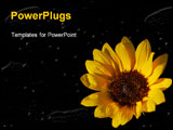 PowerPoint Template - a image of sunflower