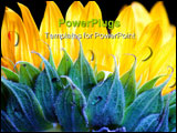 PowerPoint Template - Sunflower close up of petals from behind on black