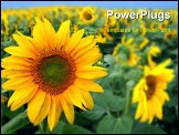 PowerPoint Template - Field with sunflowers