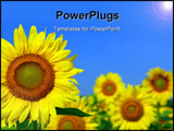 PowerPoint Template - Sunflower field with one sunflower in foreground and blue sky