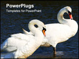 PowerPoint Template - a male and female pair of swans, standing in water and curving their necks.