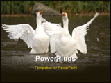 PowerPoint Template - Swans taken at local lake in St Albans England