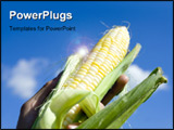 PowerPoint Template - A farmer holding up freshly picked sweet corn