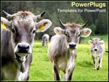 PowerPoint Template - Three cows stand together calmly.