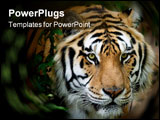 PowerPoint Template - siberian tiger taken at big cat rescue