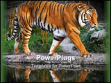 PowerPoint Template - a prowling tiger with a wonderful reflection.