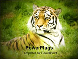 PowerPoint Template - mur Tiger (Panthera tigris altaica) looking to left of frame - landscape orientation ** Note: Sligh