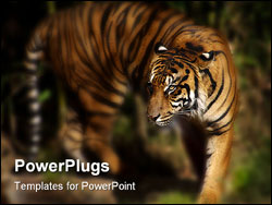 PowerPoint Template - beautiful siberian tiger