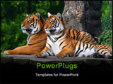 PowerPoint Template - Two adult tigers resting on a wooden pavement. photo taken at the Prague Zoo