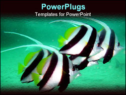 PowerPoint Template - a group banner fishes in the tropical sea of western australia.