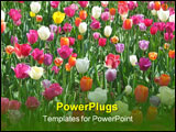 PowerPoint Template - a bed of tulips