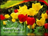 PowerPoint Template - the beautiful yellow and red tulips: summer time concept