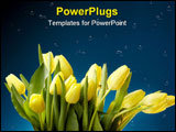 PowerPoint Template - Close up shot of yellow tulips with water droplets on blue background-space for copy