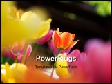 PowerPoint Template - Colorful tulips in bright sunlight with shallow focus