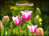 PowerPoint Template - Tulips tenderness and beauty of blossom it