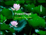 PowerPoint Template - Two lotus flowers blooming in the pool