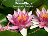 PowerPoint Template - Two Pink Water Lily
