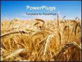 PowerPoint Template - Focus on wheat ears in wheat field.