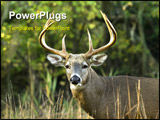 PowerPoint Template - A Whitetail deer buck close-up head shot.