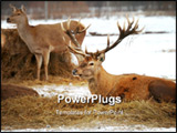 PowerPoint Template - Pretty nice head shot of a male deer and female deer in background